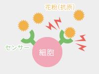 外敵を捕まえるセンサー(抗体)が、体の中に入ってきた花粉(抗原)をキャッチする