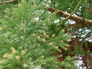 スギ花粉の増加